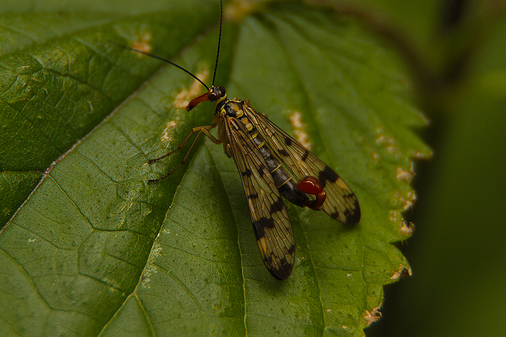 skorpionsfliege männlich